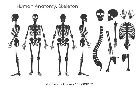 Vector illustration set of human bones skeleton in silhouette style isolated on white background. Human anatomy concept, skeleton in different positions.