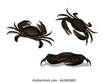 Vector Illustration : Set Mud Crab Scylla serrata above and front isolated on white background.
