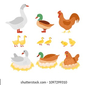 Vector illustration set of poultry, chicken, hen, cock and duck, goose on the nest with eggs in flat cartoon design.