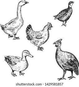 Vector illustration set poultry - goose, guinea fowl, chicken, duck, quail. A series of farm animals. Graphics drawing. Vintage engraving style. Sketch. Isolated birds on white background.