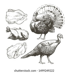 Vector illustration set poultry turkey. Roasted meat. Vintage sketch Illustration of farm animals. Isolated birds drawing on white background. Graphic for butcher shop, farmer market, Thanksgiving Day