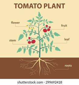 vector illustration showing parts of tomato whole plant - agricultural infographic tomatoes scheme with labels for education of biology -  flower, leaf, stem, roots, fruit