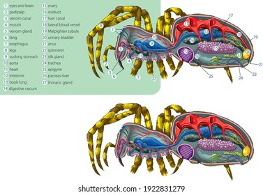 Vector illustration of the simplified internal anatomy of the spider.