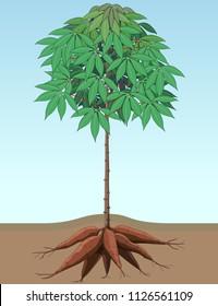 Vector illustration, singkong or cassava plant structure.