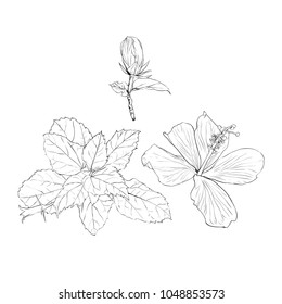 Vector illustration sketch drawing.Hibiscus flowers and leaves on isolated white bacground.