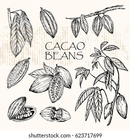 Vector illustration.  Sketched hand drawn cacao beans, cacao tree leafs and branches.