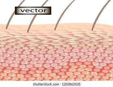 Vector illustration of skin cells, human epidermis layer in section