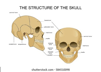 vector illustration of the skull structure. anatomy