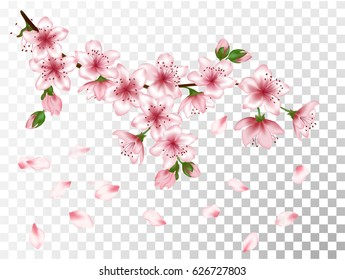 Vector illustration of spring bloom branch with pink flowers, buds, petals falling. Realistic design isolated on transparency grid. Blooming cherry tree twig. Apple, peach or apricot flowering branch.