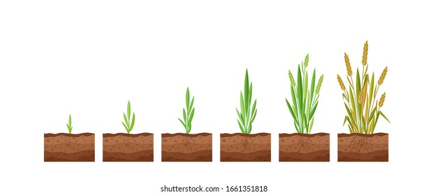 Vector illustration of stages of wheat seed growth. Cycle of growth of a wheat plant on a white background, organic products concept, eco. Seed grows to the plant.