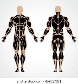 Vector illustration of a strong muscular man. Bodybuilding male muscle anatomy. Posterior and interior view of bodybuilder.