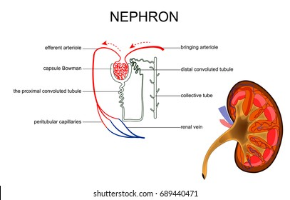 nephron images, stock photos \u0026 vectors shutterstock Drawing of Kidney Nephron vector illustration of the structure of kidney and nephron