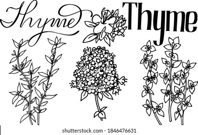 vector illustration of thyme. Herbs aromatic vector illustration. thyme vector icone. herbs image.  Aromatic herbs of italian cuisine. Lettering aromatic herbs thyme. black vector thyme  line art