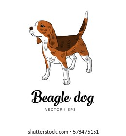 Vector illustration of a tricolor beagle dog, standing. Isolated on white background. Hand drawn sketch.