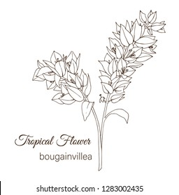 Vector illustration of tropical flower isolated on white background. Hand drawn bougainvillea. Floral outline. Coloring page. Sketch style. Tropic design elements