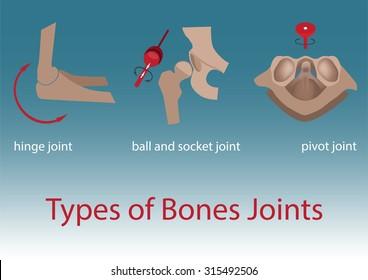 vector illustration. types of human bones joints anatomy.