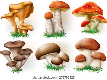 vector illustration of various fungi boletus, champignon, Leccinum, Chanterelle, Oyster