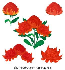 Vector illustration of Waratah or Telopea. Australian native bush flower. Set of various flowers isolated on white.