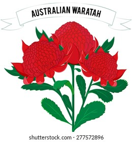 Vector illustration of Waratah, Telopea bouquet. Australian native bush plant. Vibrant red flower with lush green leaves isolated on white.