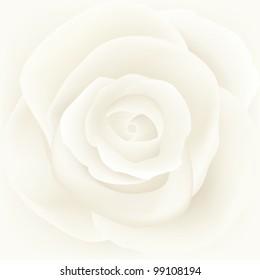 Vector illustration of white rose