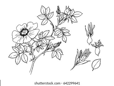 vector illustration of a wild rose Bush, flower and leaves