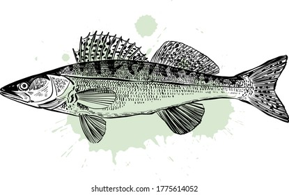 the vector illustration of the zander fish