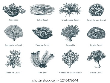 Vector illustrations of corals. Collection of drawn sea polyps on white background.
