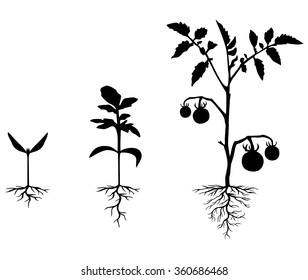 Vector illustrations of Set of silhouettes of tomato plants at different stages