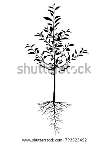 Vector illustrations of silhouette seedling cherry tree with leaves, berries and roots