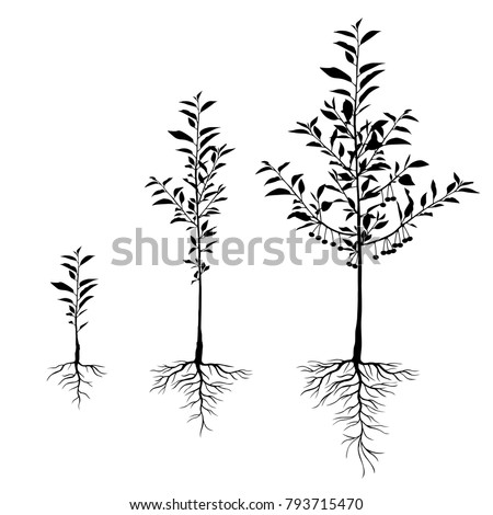 Vector illustrations of silhouette seedling cherry trees with roots and fruits set of different ages