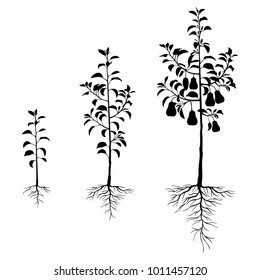 Vector illustrations of silhouette seedling pears trees with roots and fruits set of different ages
