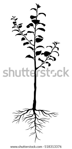 Vector illustrations of silhouette two-year seedling apple trees with roots