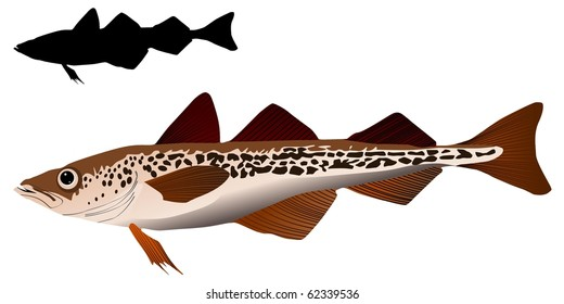vector image of Alaska pollack
