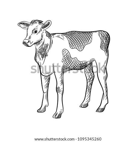 Vector Image Calf Stock Vector Royalty Free 1095345260