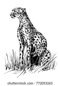 vector image of a cheetah sitting in the grass. Drawing by hand and traced into a vector portrait of a cheetah.