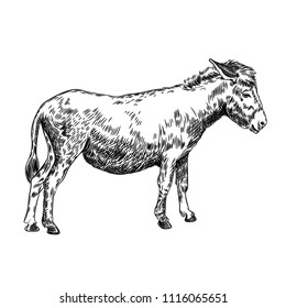 Vector image of a donkey