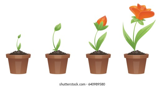 Vector image of four stages of growth of a beautiful orange flower (tulip) in a brown pot on a white background. Plant growing stages. Flower life cycle. Timeline infographic. Vector illustration.
