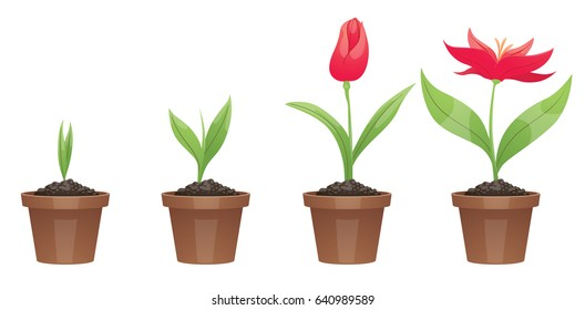 Vector image of four stages of growth of a beautiful red flower (tulip) in a brown pot on a white background. Plant growing stages. Flower life cycle. Timeline infographic. Vector illustration.
