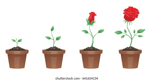 Vector image of four stages of growth of a beautiful red flower (rose) in a brown pot on a white background. Plant growing stages. Flower life cycle. Timeline infographic. Vector illustration.