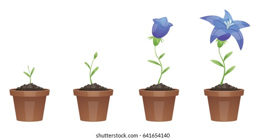 Vector image of four stages of growth of a beautiful blue flower (lily) in a brown pot on a white background. Plant growing stages. Flower life cycle. Timeline infographic. Vector illustration.