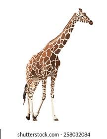Vector image of giraffe
