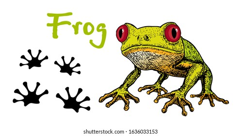 Vector image of a green tree-frog on white background. Frog Red-eye. Sketch of frog, Hand drawn illustration. The frog and its tracks. Footprints of a frog.