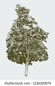 Vector image of old deciduous tree