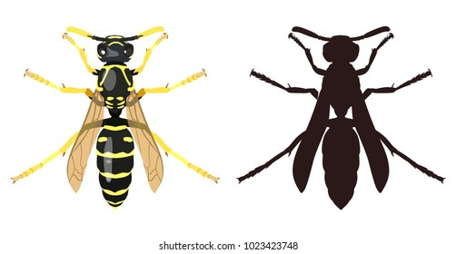 Vector image of an ordinary wasp and its dark silhouette on white background. View from above. Insects