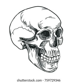 Vector image of the skull in the style of engraving