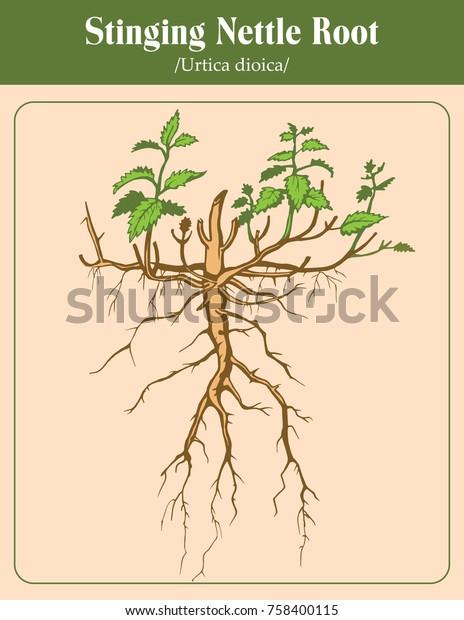 [Image: vector-image-stinging-nettle-root-600w-758400115.jpg]