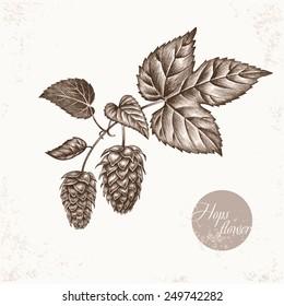 Vector images of medicinal plants. Biological additives are. Healthy lifestyle. Hops flower.