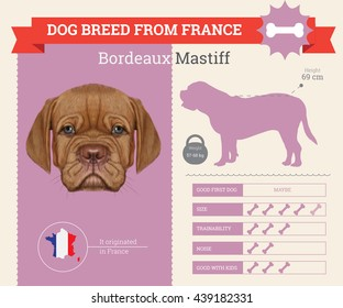Vector info graphic of Bordeaux Mastiff Dog breed . This dog breed from France