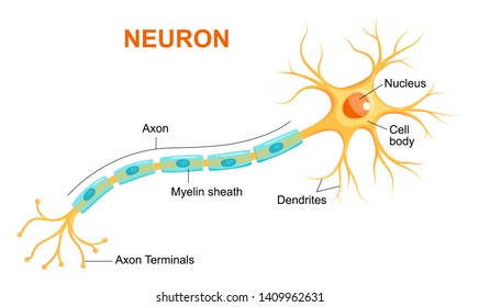 Vector infographic of neuron anatomy.   Axon, myelin sheat, dendrites, cell body, nucleus.