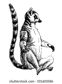 Vector ink drawing of ring-tailed lemur. Sketch of sitting lemur with black and white ringed tail. Lemur with open hands for hug